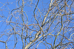 Willow tree branch in the spring. Against blue sky stock image