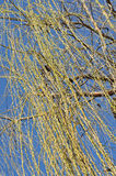Willow tree branch in the spring. Against blue sky royalty free stock photos