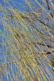 Willow tree branch in the spring. Against blue sky stock photography