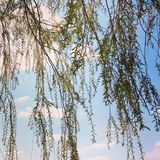 Willow tree branches Stock Photo