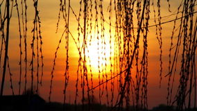 Willow tree branches swaying in the wind against the background of the setting sun. Sunset through the reeds,sunset over the lake,sunset over the river stock footage