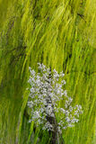Willow tree branches swaying in the wind, with small blossoming tree in front of it Royalty Free Stock Photo