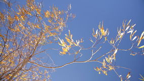 Willow Tree Branches With Yellow Leaves Swaying Slightly With Breeze With Blue Sky Background. Autumn Sunny Day Nature Outdoors Footage With Orange Foliage stock video