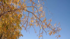 Willow Tree Branches With Yellow Leaves Swaying Slightly With Wind With Blue Sky Background. Autumn Sunny Day Nature Outdoors Footage With Orange Foliage stock video footage