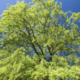 Willow tree, canopy. Wind blowing in Willow tree stock photos