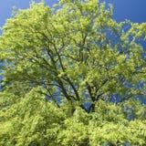 Willow tree, canopy Stock Photos