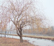 Willow tree. Closeup willow tree in the river royalty free stock image