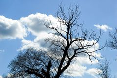 Dead willow tree blue sky clouds wind blowing royalty free stock photography