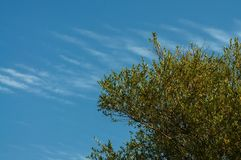 Willow tree and sky with many line clouds. Royalty Free Stock Photo