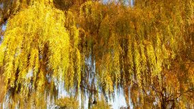 Willow tree. Fall yellow leaves of the willow tree Stock Photo