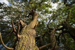 Willow tree foliage Stock Photo