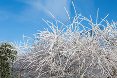 Willow tree with frost on background of blue sky. Frosty winter. Day and snowy branch Royalty Free Stock Photography
