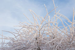 Willow tree with frost on background of blue sky. Frosty winter. Day and snowy branch Stock Photography