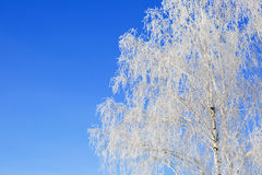 Willow tree in frost  closeup on background of blue sky Stock Image