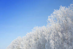 Willow tree in frost  closeup on background of blue sky Royalty Free Stock Photography