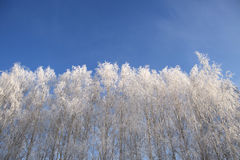 Willow tree in frost  closeup on background of blue sky Stock Images