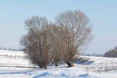 Willow tree frozen. In a snow field royalty free stock photos
