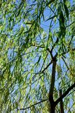 Willow tree of Ginza. Willow tree trembling in the breeze of Tokyo Ginza Stock Images