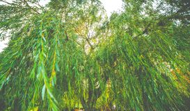 Willow tree. Green leaves of willow tree royalty free stock image