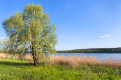 Willow tree on green shore of ponds Stock Photo