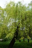 The willow tree growing in the park with light foliage royalty free stock photo