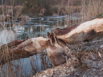 Willow tree hurt by beaver Stock Image