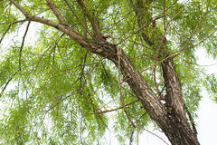 Willow tree Stock Images