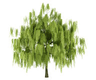 Willow tree isolated on white Stock Image