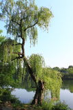 Willow Tree by Lake. An old willow tree by lake with unique shape stock photography