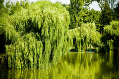 Willow tree lake. Lake surrounded by willow trees Stock Photography