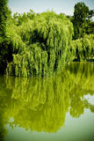 Willow tree lake. Lake surrounded by willow trees Royalty Free Stock Photography