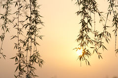 Willow tree leaf in a sunset Royalty Free Stock Photos