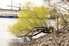 The willow tree leaned into the water stock images