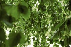 Willow tree leaves background. Environment, gardening and wildlife concept royalty free stock image