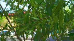Willow tree leaves shaking gently in a breeze close up stock video footage