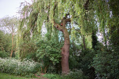 Willow tree in a local park with lush foliage. UK stock photography