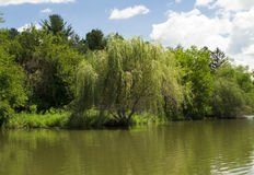 Willow Tree at Mariposa Lake and Park. Willow tree in front of a small forest at Mariposa Lake and Recreational Area. Located in Jasper County, Iowa near Newton stock images