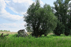 Willow tree on meadow of havel river (Germany) Stock Images
