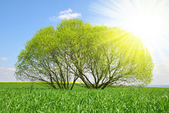 Willow tree on meadow. Royalty Free Stock Photos