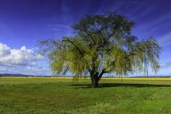 Willow Tree mit neuem Frühlings-Wachstum nahe Narzissenfeldern Lizenzfreie Stockfotografie