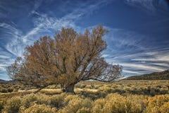 Willow Tree muito idosa perto de um pântano Fotografia de Stock Royalty Free