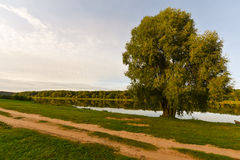Willow tree nature landscape Royalty Free Stock Photos