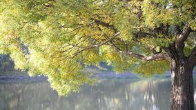 Willow tree near the water in  summer stock footage
