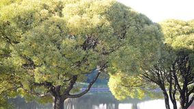 Willow tree near the water in  summer stock video footage