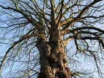 Willow Tree nudosa y anudada en el invierno - mirada imponente del ángulo bajo imagenes de archivo