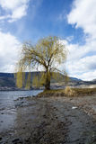 Willow tree by Okanagan Lake , Kelowna, Royalty Free Stock Photography
