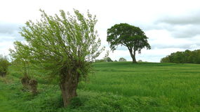 Willow tree. An old willow tree on the edge of a field in northern Germany Stock Image