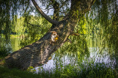Willow tree. An old willow tree by the lake in the afternoon sunshine royalty free stock image