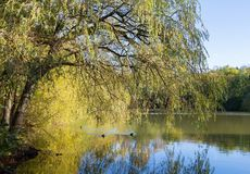 Willow tree overhanging a tranquil lake. On a sunny day stock photos
