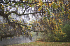 Willow tree in a park Royalty Free Stock Image